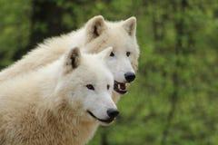 Zwei arktische Wölfe, die herum aufpassen Lizenzfreie Stockbilder