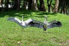 Zwei Asiat Openbill, das ihre Flügel verbreitet Lizenzfreies Stockbild