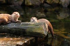Zwei asiatische kleine gekratzte Otter, die einige kleine Fische oder irgendeine Mahlzeit auf dem Abendessen essen , schauend auf stockfotos