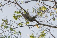 Zwei ausgewichene Trägheit, die in einen Baum sich bewegt Lizenzfreies Stockfoto