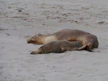 Zwei australische Seelöwen Lizenzfreie Stockfotos