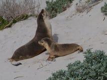 Zwei australische Seelöwen Stockfotos
