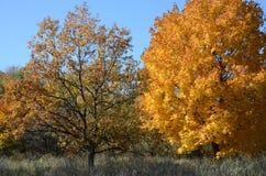 Zwei Bäume mit gelb gefärbten Blättern am Rand eines Waldes im Herbst Stockbilder