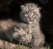Zwei Baby Bobcat Kits (Luchs rufus) im hohlen Klotz Stockfotos