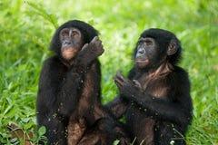Zwei Baby Bonobo, der auf dem Gras sitzt Demokratische Republik Kongo Lola Ya-BONOBO Nationalpark Stockbild