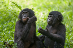Zwei Baby Bonobo, der auf dem Gras sitzt Demokratische Republik Kongo Lola Ya-BONOBO Nationalpark Stockbilder