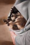 Zwei Baby-Waschbären (Procyon lotor) in der Sweatshirt-Tasche Lizenzfreie Stockbilder