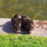 zwei Babyenten, die zusammen die Köpfe zusammenstecken lizenzfreies stockfoto