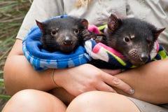 Zwei Babys des tasmanischen Teufels behandelt von einem Förster lizenzfreie stockfotos