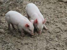 Zwei Babyschweine Stockfotografie