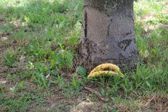 Zwei Bananen gelassen durch den Baum auf Gras stockfotos