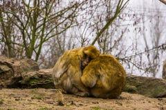 Zwei Barbary-Makaken, die nah zusammen sitzen und, Tierliebe, gefährdeter Tierspecie von Marokko sich umarmen lizenzfreies stockfoto