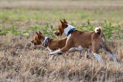 Zwei Basenjis Hunde Stockfotografie
