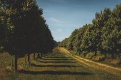 Zwei Baumreihen lizenzfreie stockfotos