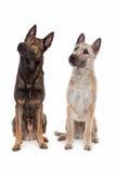 Zwei belgische Schäferhundhunde Lizenzfreies Stockfoto