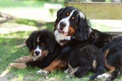 Zwei Bernese Gebirgshunde Stockfotos