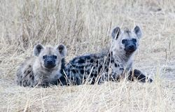 Zwei beschmutzte Hyänen Lizenzfreie Stockfotografie