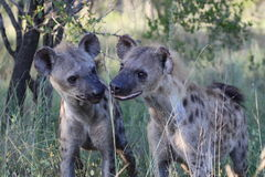 Zwei beschmutzte Hyänenjunge Stockfotos