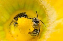 Zwei Bienen, die in einer Kürbisblume sitzen Lizenzfreie Stockfotografie
