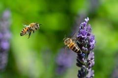 Zwei Bienen im Flug um Lavendelblumen stockfoto