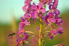 Zwei Bienen sammelt Nektar vom kiprei stockfotos