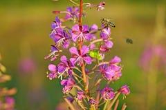 Zwei Bienen sammelt Nektar vom kiprei stockbild