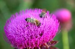Zwei Bienen und eine Hälfte auf schöner Distel blühen Stockfotografie