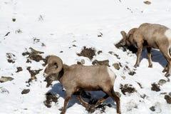 Zwei Big Horn-Schafe, die für Lebensmittel herumsuchen Stockfotografie