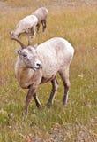 Zwei Bighorn sheeps, Ovis canadensis Lizenzfreies Stockbild