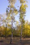 Zwei Birken Stockbilder