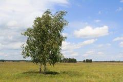 Zwei Birken, die auf dem Gebiet stehen, neigten durch einen Wind lizenzfreie stockfotos