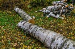 Zwei Birken, die fielen, nachdem der Sturm in Brennholz geschnitten sind lizenzfreies stockbild