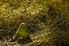 Zwei Birnen stockfotografie