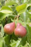 Zwei Birnen auf einem Baumzweig Stockfoto