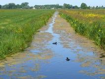Zwei Blässhühner, die in einem Kanal schwimmen stockbild
