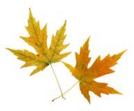 Zwei Blätter Stockfotografie