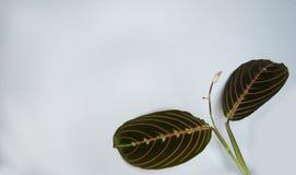 Zwei Blätter Calathea auf einem grauen Hintergrund für eine Fahne stockfotografie