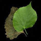 Zwei Blätter - Konzept der Zeit überschreiten oder alt und des Nes lizenzfreie stockfotos