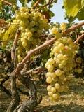 Zwei Blöcke der weißen Trauben im Weinberg Lizenzfreies Stockbild