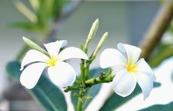 Zwei blühende Pagode-Blumen stockfoto