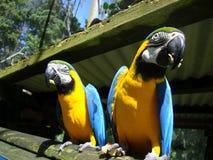 Zwei blau-und-gelbe Keilschwanzsittiche Stockfoto
