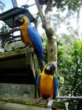 Zwei blau-und-gelbe Keilschwanzsittiche Stockbilder
