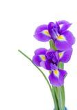 Zwei blaue irise Blumen Stockfoto