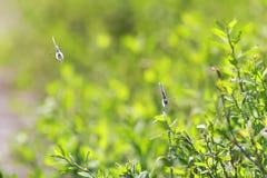 Zwei blaue Schmetterlinge, die vorwärts unter grünem Gras fliegen Stockfoto