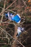 Zwei Blauhäher, die über einer Erdnuss kämpfen stockbild