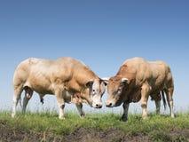 Zwei blonde d-` Aquitanien-Stiere in der niederländischen grünen grasartigen Wiese Stockfotografie