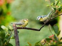Zwei Bluetits auf einem Zweig stockfotografie