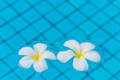 Zwei Blumen Frangipani auf der Wasseroberfläche des Pools Stockfoto