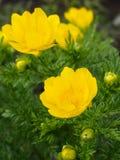 Zwei Blumen von Adonis-vernalis Lizenzfreies Stockbild