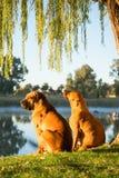 Zwei Boerbul-Hunde durch Fluss Stockfotos